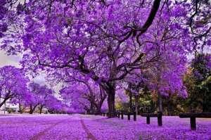 啊,那漫天的紫色