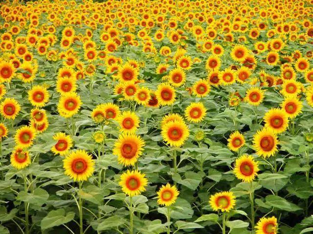 今生最美,不过那片向日葵!