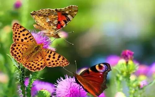 蝴蝶花儿开放
